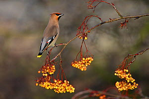 Bohemian waxwing (Bombycilla garrulus) perched in Rowan tree (Sorbus sp) North Wales, UK, January  -  Alan Williams