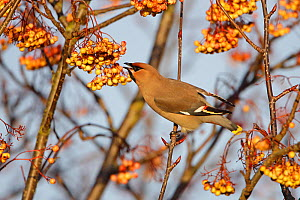 Bohemian waxwing (Bombycilla garrulus) perched in Rowan tree (Sorbus) feeding on berries, North Wales, UK, January  -  Alan Williams