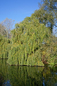 Weeping willow (Salix alba 'Tristis') on bank of River Lea, Lea Valley Park, Essex, UK, November 2006 - Alan Williams
