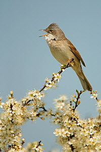 Whitethroat (Sylvia communis) male singing perched on Blackthorn (Prunus spinosa) blossom, Essex, UK, May  -  Alan Williams