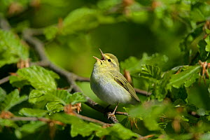 Wood warbler (Phylloscopus sibilatrix) singing in woodland, North Wales, UK, May  -  Alan Williams