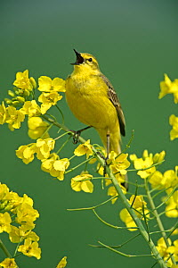 Yellow wagtail (Motacilla flava flavissima) male singing perched on Rapeseed flower head, Essex, UK, May  -  Alan Williams