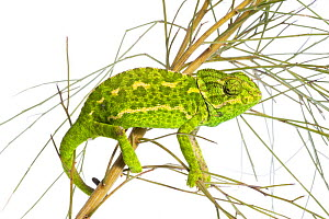 Common chameleon (Chameleo chameleo) in Retama bush, Huelva, Andalucia, Spain, April 2009  -  Wild Wonders of Europe / Benvie