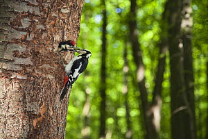 Great spotted woodpecker (Dendrocopos major) feeding chick at nest hole, deciduous forest in the Vihorlat Mountains near Michalovce, Western Carpathians, Eastern Slovakia, Europe, May 2009  -  Wild Wonders of Europe / Wothe