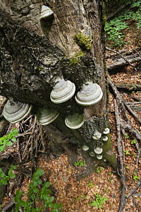 Horse's hoof / Tinder fungus (Fomes fomentarius) growing on dead tree, Morske Oko Reserve, Vihorlat Mountains, Western Carpathians, Eastern Slovakia, Europe, May 2009 - Wild Wonders of Europe / Wothe