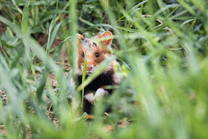Common hamster (Cricetus cricetus) partialy hidden in grass, Slovakia, Europe, May 2009  -  Wild Wonders of Europe / Wothe