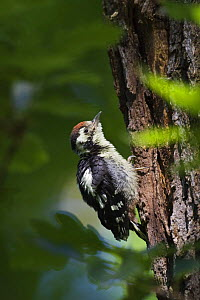 Young Middle spotted woodpecker (Dendrocopos medius) on tree trunk, Slovakia, Europe, May 2009  -  Wild Wonders of Europe / Wothe