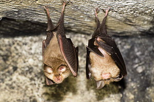 Two Lesser horseshoe bats (Rhinolophus hipposideros) roosting, Eastern Slovakia, Europe, May 2009  -  Wild Wonders of Europe / Wothe