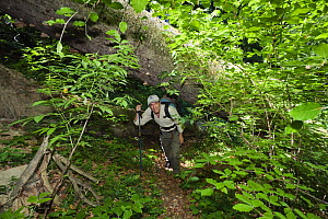 Photographer, Konrad Wothe, walking underneath a large fallen tree, Rozok Primeval Forest, Poloniny National Park, Western Carpathians, Slovakia, Europe, May 2009  -  Wild Wonders of Europe / Wothe