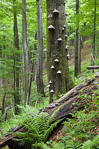European beech (Fagus sylvatica) forest, with Tinder fungus (Fomes fomentarius) growing on the trunk of a tree, Stuzica primeval Forest, Unesco World Heritage Site, Poloniny National Park, Western Car...  -  Wild Wonders of Europe / Wothe