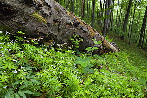 Fallen tree in European beech (Fagus sylvatica) forest, Stuzica primeval Forest, Unesco World Heritage Site, Poloniny National Park, Western Carpathians, Slovakia, Europe, May 2009  -  Wild Wonders of Europe / Wothe