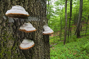 Horse's hoof / Tinder fungus (Fomes fomentarius) on tree trunk, European beech (Fagus sylvatica) forest, Stuzica primeval Forest, Unesco World Heritage Site, Poloniny National Park, Western Carpathian... - Wild Wonders of Europe / Wothe