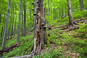 European beech (Fagus sylvatica) forest, Tinder fungus (Fomes fomentarius) growing on one of the tree trunks, Stuzica primeval Forest, Unesco World Heritage Site, Poloniny National Park, Western Carpa...  -  Wild Wonders of Europe / Wothe