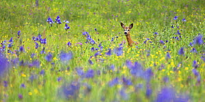 Male Roe deer (Capreolus capreolus) in flower meadow with Siberian irises (Iris sibirica) Eastern Slovakia, Europe, May 2009 - Wild Wonders of Europe / Wothe