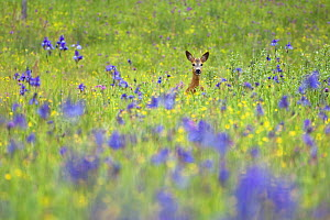 Male Roe deer (Capreolus capreolus) in flower meadow with Siberian irises (Iris sibirica) Eastern Slovakia, Europe, May 2009 WWE BOOK. WWE OUTDOOR EXHIBITION - Wild Wonders of Europe / Wothe
