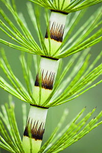 Great horsetail (Equisetum telmateia) close-up of stem, Poloniny National Park, Western Carpathians, Eastern Slovakia, Europe, June 2009 WWE BOOK. WWE INDOOR EXHIBITION  -  Wild Wonders of Europe / Wothe
