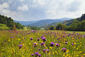 Flowering meadow with Thistles (Cirsium rivulare) and Buttercups (Ranunculus acris) Poloniny National Park, Western Carpathians, Eastern Slovakia, Europe, June 2009  -  Wild Wonders of Europe / Wothe