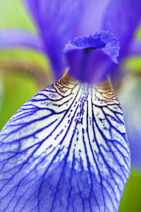Close-up of Siberian iris (Iris sibirica) petal, Eastern Slovakia, Europe, June 2009 - Wild Wonders of Europe / Wothe