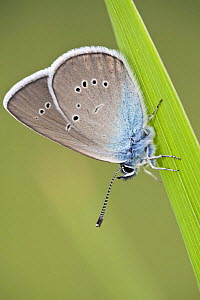 Blue Butterfly (Lycaenidae sp) on blade of grass, Eastern Slovakia, Europe, June 2009  -  Wild Wonders of Europe / Wothe