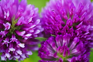 Close-up of Red clover (Trifolium pratense) flowers, Eastern Slovakia, Europe, June 2009  -  Wild Wonders of Europe / Wothe