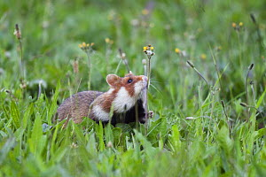 Common hamster (Cricetus cricetus) sniffing flower stem, Slovakia, Europe, June 2009 - Wild Wonders of Europe / Wothe