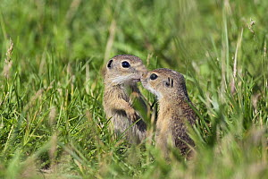 Two young European sousliks (Spermophilus citellus) touching noses, Eastern Slovakia, Europe, June 2009 - Wild Wonders of Europe / Wothe