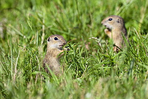 Two young European sousliks (Spermophilus citellus) Eastern Slovakia, Europe, June 2009  -  Wild Wonders of Europe / Wothe