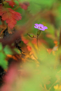 Herb robert (Geramium robertianum) in flower, Roudenhaff, Mullerthal, Luxembourg, May 2009  -  Wild Wonders of Europe / T�nning