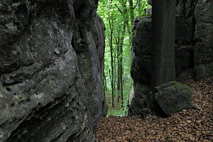 Sandstone formations in forest with Beech trees (Fagus sylvatica) Consdorf, Mullerthal, Luxembourg, May 2009  -  Wild Wonders of Europe / T�nning