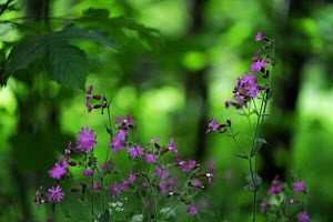 Red campion (Silene dioica) in flower, Larochette, Mullerthal, Luxembourg, May 2009  -  Wild Wonders of Europe / T�nning