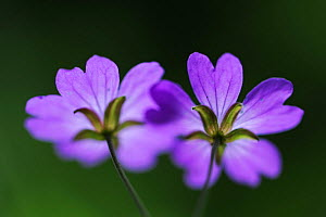 Two Hedgerow cranesbills (Geranium pyrenaicum) flowers, Larochette, Mullerthal, Luxembourg, May 2009  -  Wild Wonders of Europe / T�nning