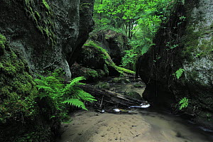 Halerbach / Haupeschbach flowing between large moss covered rocks with Male ferns (Dryopteris filix mas) growing, Beaufort, Mullerthal, Luxembourg, May 2009  -  Wild Wonders of Europe / T�nning
