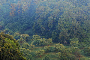 Apple trees in a valley, light morning mist, Roudenhaff, Mullerthal, Luxembourg, May 2009  -  Wild Wonders of Europe / T�nning