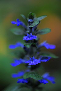 Blue bugle (Ajuga reptans) in flower, Bugleweed, Echternach, Mullerthal, Luxembourg, May 2009  -  Wild Wonders of Europe / T�nning