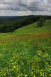 Buttercups (Ranunculus acris) flowering in a meadow, Oesling, Ardennes, Luxembourg, May 2009  -  Wild Wonders of Europe / T�nning