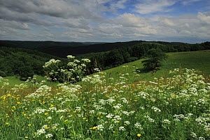 Cow parsley (Anthriscus sylvestris) and Buttercups flowering in meadow, Oesling, Ardennes, Luxembourg, May 2009  -  Wild Wonders of Europe / T�nning