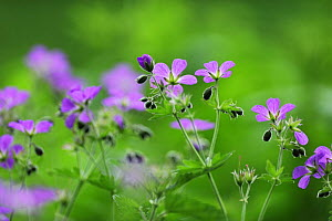 Woody cranesbill (Geranium sylvaticum) in flower, Oesling, Ardennes, Luxembourg, May 2009 - Wild Wonders of Europe / T�nning