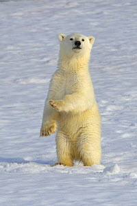 Polar bear (Ursus maritimus) new year cub, 6 months, standing on hind legs, Svalbard, Norway (non-ex) July 2007 - Andy Rouse