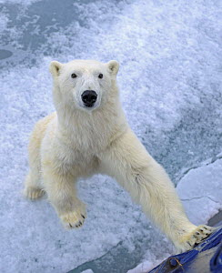 Polar bear (Ursus maritimus) standing up against tourist ship, Svalbard, Norway, June 2009  -  Andy Rouse