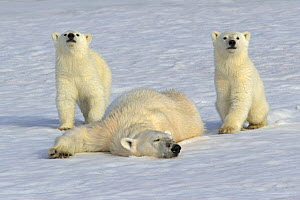 Polar bear (Ursus maritimus) mother rolling in snow watched by new year cubs, 6 months, pink tint of fur caused by snow algae, Svalbard, Norway, July 2007  -  Andy Rouse