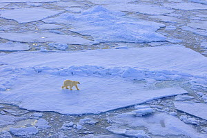 Polar bear (Ursus maritimus) on broken up pack ice, Svalbard, Norway, September 2009  -  Andy Rouse