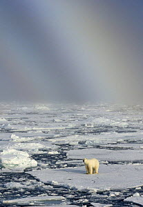 Polar bear (Ursus maritimus) on broken pack ice with faint rainbow behind, Svalbard, Norway, February 2009 - Andy Rouse