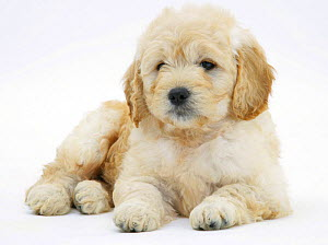 Miniature Goldendoodle puppy (Golden retriever x Poodle cross) 7 weeks, lying down - Mark Taylor