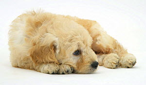 Miniature Goldendoodle puppy (Golden retriever x Miniature poodle cross) 7 weeks, lying down - Mark Taylor