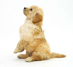 Miniature Goldendoodle puppy (Golden retriever x Miniature poodle cross), 7 weeks, sitting up, begging - Mark Taylor