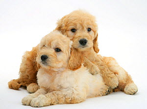 RF- Two Miniature Goldendoodle puppies (Golden retriever x Miniature Poodle cross), 7 weeks, one lying across the other. (This image may be licensed either as rights managed or royalty free.)  -  Mark Taylor