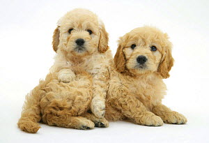 Two Miniature Goldendoodle puppies (Golden retriever x Miniature poodle cross), 7 weeks, one lying across the other - Mark Taylor