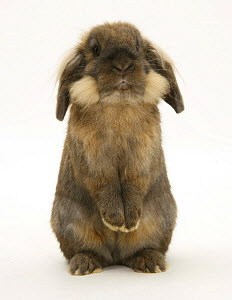 Lionhead rabbit standing up. - Mark Taylor