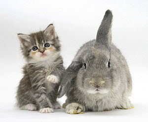 Tabby kitten with grey windmill-eared rabbit.  NOT AVAILABLE FOR BOOK USE - Mark Taylor