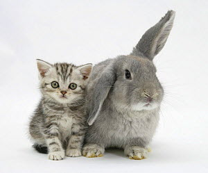 Silver tabby kitten with grey windmill-eared rabbit.  NOT AVAILABLE FOR BOOK USE  -  Mark Taylor